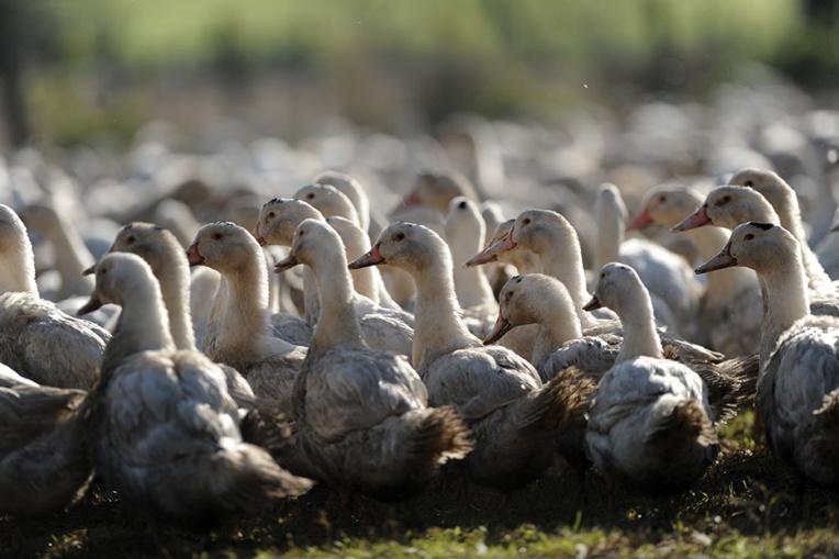 """Grippe aviaire: """"des centaines de milliers"""" de canards prochainement abattus"""