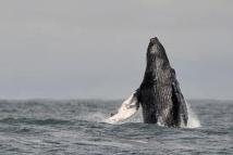 Google prié d'enlever les pubs pour l'ivoire et la baleine
