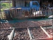 Pêche à la bêche-de-mer : les îles Salomon lèvent temporairement le moratoire