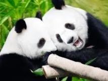 Les pandas géants de Tokyo l'ont fait...