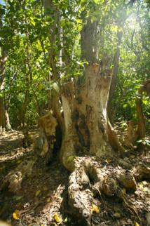 Ce vieux Pisonia grandis a souffert, perdant nombre de ses grosses branches. Sa base donne une idée de sa taille une fois adulte.