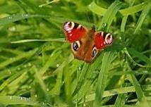 2012, annus horribilis pour les papillons britanniques