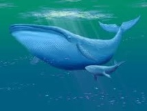 Des baleines bleues de l'Antarctique marquées pour suivre leur migration