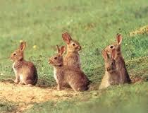 Mortel week-end de Pâques pour 18 000 lapins néo-zélandais