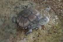 Seychelles: la tortue disparue n'avait jamais existé