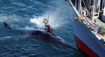 Chasse à la baleine: Sea Shepherd remporte une manche contre le Japon