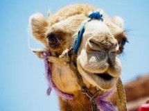 Le chameau offert à François Hollande a été mangé