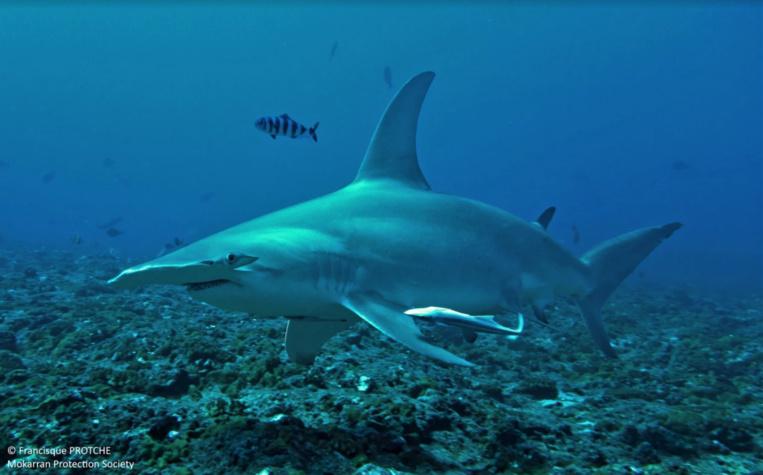Rangiroa, l'escale mystérieuse du Grand requin-marteau
