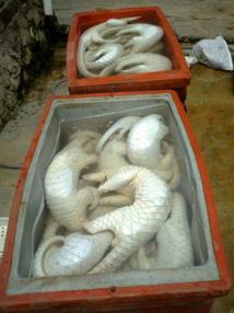 Philippines: saisie de pangolins congelés dans un bateau de pêche chinois