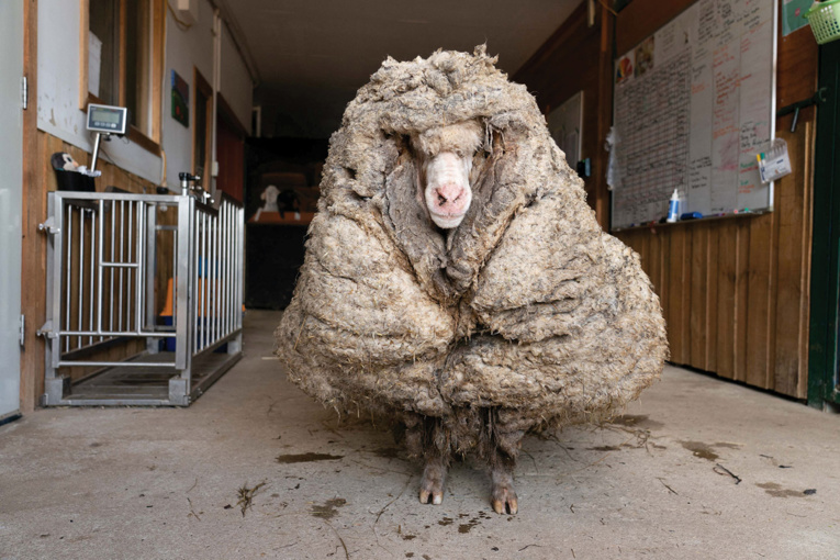 Australie: un mouton délesté de son pelage de 35 kg