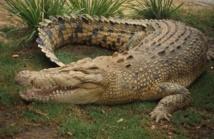 Australie: un Français pris à la tête par un crocodile se libère à coups de poing