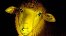 Uruguay: naissance de moutons transgéniques phosphorescents