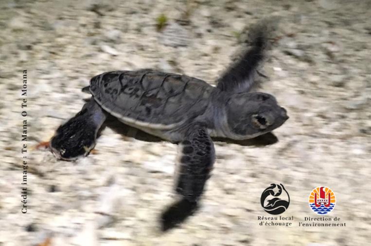 170 bébés tortues naissent à Moorea
