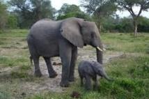 Les éléphants du Mozambique menacés de disparition dans les dix ans