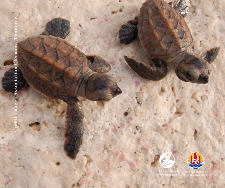 Reao reconnu comme site de ponte de tortues imbriquées
