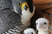 Trois faucons naissent à Paris, une première depuis le XIXe siècle