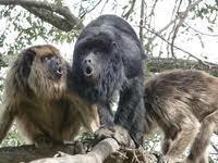 Trois singes hurleurs découverts dans un hôtel de charme en Argentine