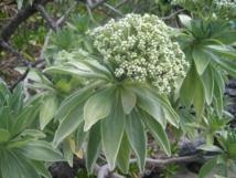 Recherche : Le « tohonu », remède contre la Ciguatera ?