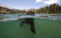 L'homme chasse la truite et l'ours mange le wapiti