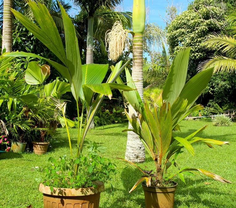 Pelagodoxa henryana (à gauche) et Pelagodoxa mesocarpa (à droite) : voilà une photo que peu de jardiniers amateurs peuvent se vanter de pouvoir réaliser, puisque ces deux espèces (surtout mesocarpa) sont très peu connues du grand public. Leur coexistence à Tahiti où mesocarpa a été introduite, suscite une inquiétude chez les botanistes qui craignent que les deux espèces ne s'hybrident, ce qui brouillerait quelque peu les cartes en termes de génétique.