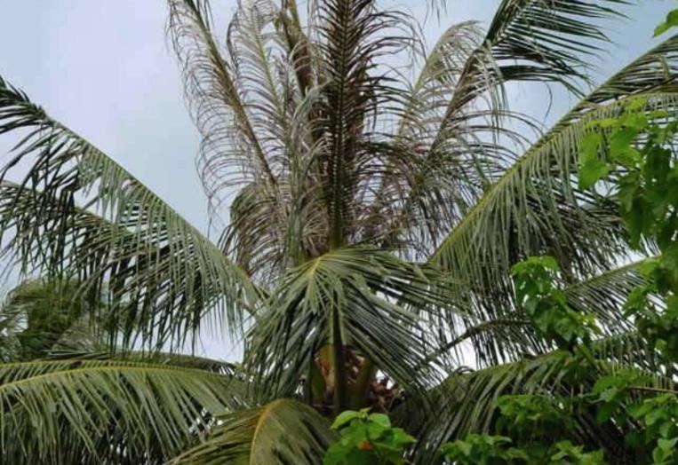 De nouveaux lâchers de micro-guêpes contre l'hispine des cocotiers