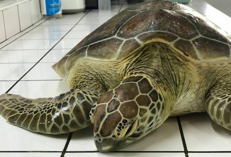 Une tortue fléchée recueillie à Moorea