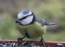 Les Français invités à compter les oiseaux de leur jardin ce week-end