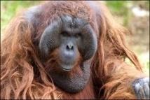 Indonésie: la forêt des orangs-outans menacée, malgré le moratoire