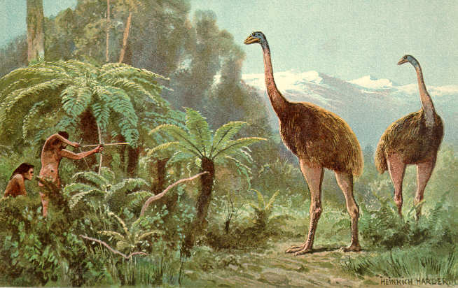 Cette peinture d'Heinrich Harder montre ce que dut être la chasse aux moas par les Maoris ; il ne leur fallut qu'un siècle pour décimer complètement les neuf espèces de moas, détruisant les oiseaux comme leurs œufs...