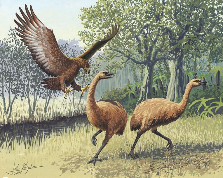 L'aigle de haast était le seul prédateur du moa. Il disparut du ciel néo-zélandais en même temps que sa proie de prédilection.