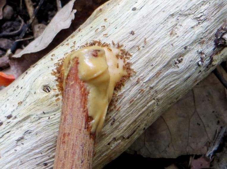 Les fourmis s'agglutinent surtout autour du beurre de cacahouète.