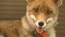 La confiscation du renard apprivoisé Zouzou confirmée en appel