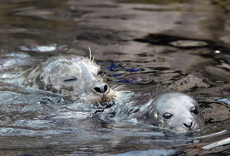 Russie: près de 170 phoques retrouvés morts au bord de la Caspienne