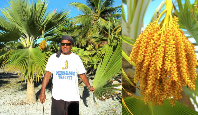 """Gilles Tropee est le """"monsieur Pritchardia thrurstonii"""" à Fakarava. Il a planté des dizaines et des dizaines de ce gracieux palmier originaire des îles Fidji où il est en voie de disparition."""