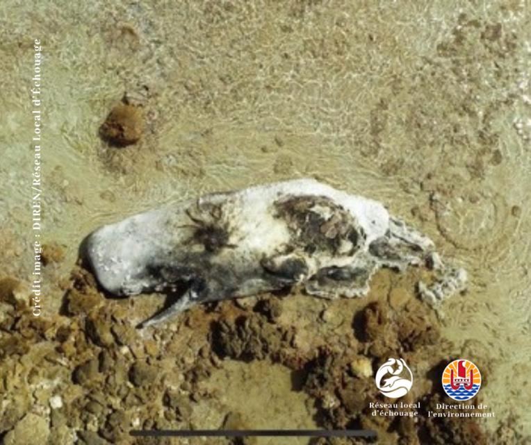 La carcasse d'un cachalot découverte à Kauehi