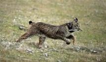 Les gendarmes de Saint-Tropez retrouvent le lynx en goguette de vacanciers russes