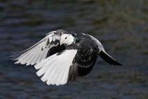 Un pigeon survole 8.000 km au-dessus du Pacifique, du Japon au Canada