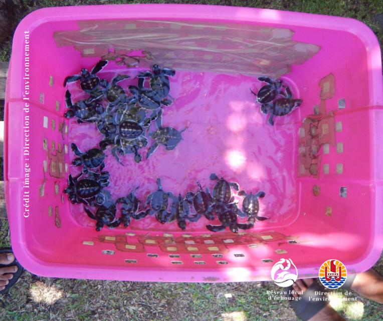 Un nid de 25 tortues découvert à Faaone