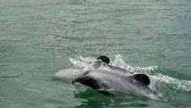 Des scientifiques exhortent la N-Zélande à sauver le dauphin Maui