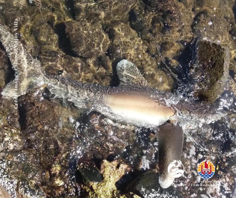 Une carcasse de parata retrouvée sur une plage à Moorea