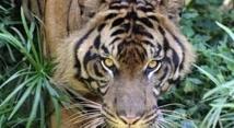 Des Indonésiens coincés plusieurs jours dans un arbre par des tigres