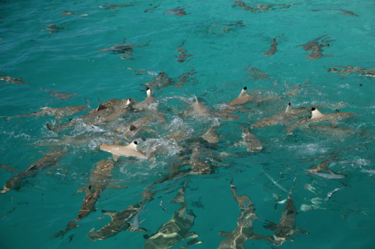 Les requins faisaient partie du quotidien des jeunes Hui Panalā'au qui en pêchèrent beaucoup pour se distraire.
