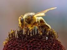 L'UE met au ban un insecticide mortel pour les abeilles