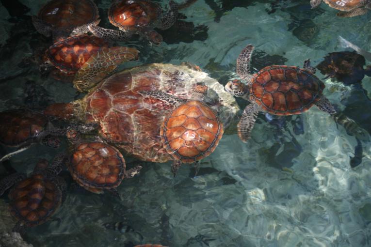 Obsession du capitaine Hart, faire main basse sur un gros stock d'écailles de tortues imbriquées ; en réalité, il n'en trouva pratiquement pas sur l'île après en avoir massacré toute la population masculine.