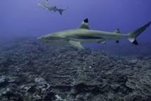 Réunion: le tribunal administratif demande un renforcement des moyens contre les attaques de requin