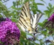 La moitié des papillons des prairies ont disparu en 20 ans en Europe