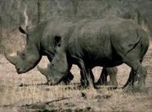 Rhinocéros en danger d'extinction: un zoo américain va faire acccoupler un frère et une soeur