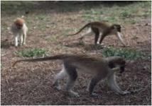 """Mystère autour de babouins """"traumatisés"""" dans un zoo néerlandais"""