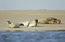 Le phoque sème la zizanie sur la côte d'Opale et en baie de Somme
