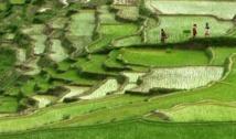 Riz et sécheresse : des chercheurs prennent le problème à la racine